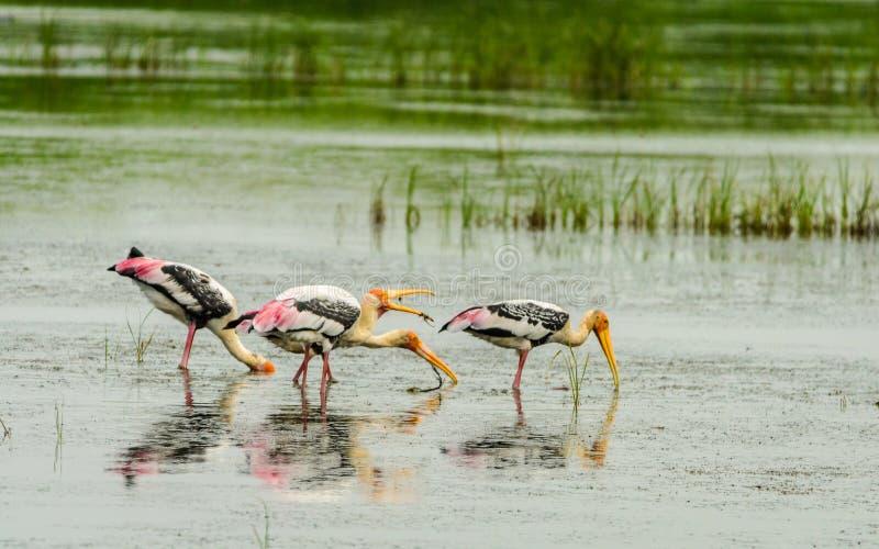Pesca della cicogna dipinta fotografia stock