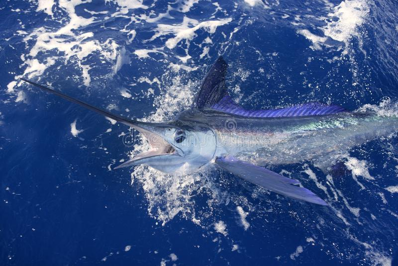 Pesca deportiva de la paparda verdadera hermosa del marlin blanco imagenes de archivo