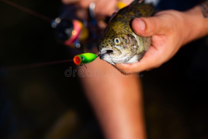 Pesca deportiva Trucha arco iris en un gancho Pesca de la lubina Pesca con mosca - método para coger la trucha Pesca con el giro imagenes de archivo