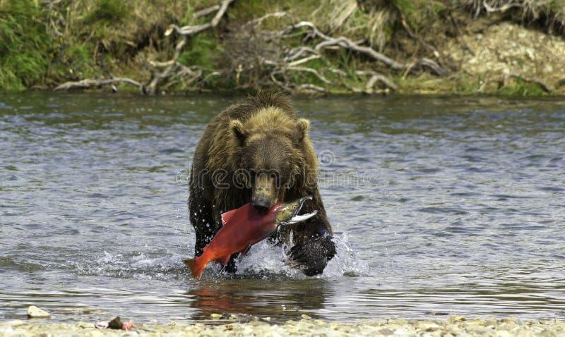Pesca do Alasca do urso imagem de stock