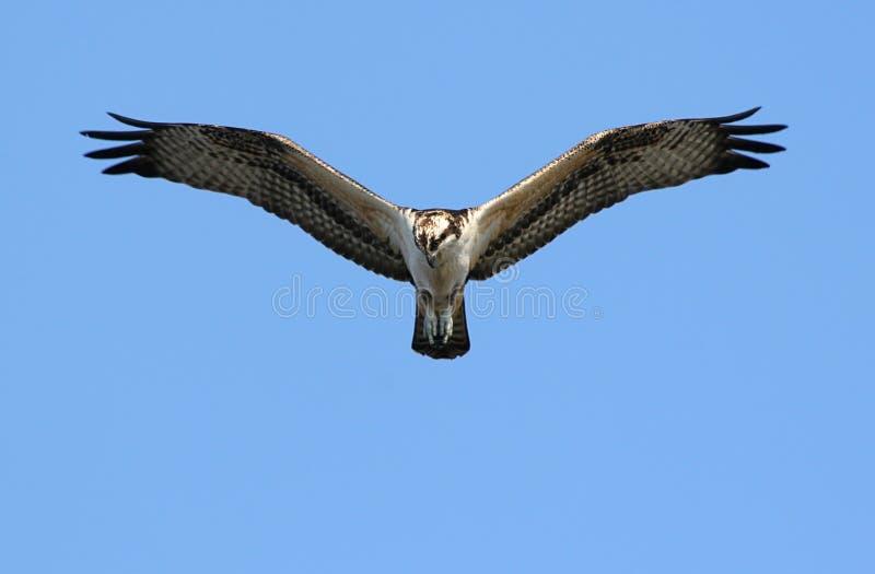 Pesca do Osprey imagem de stock royalty free