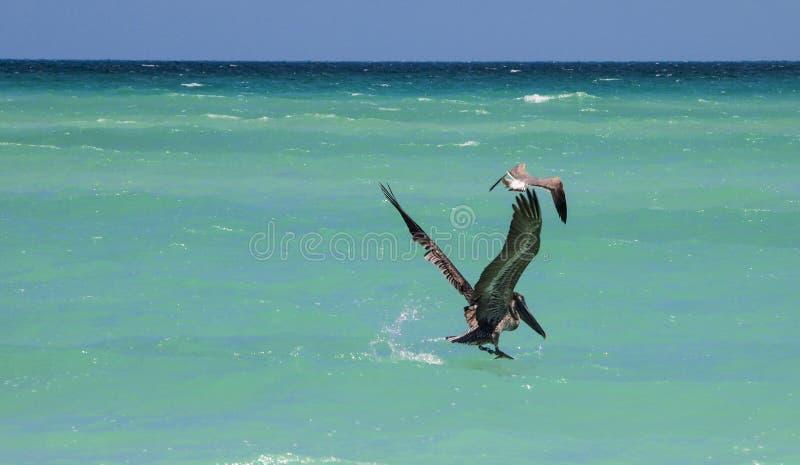 Pesca do pelicano fotografia de stock