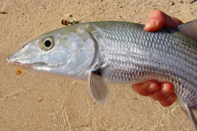 Pesca do Saltwater - pesca de mosca travada Bonefish imagens de stock royalty free