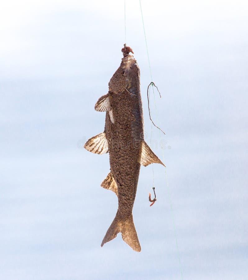 Pesca dos peixes imagem de stock