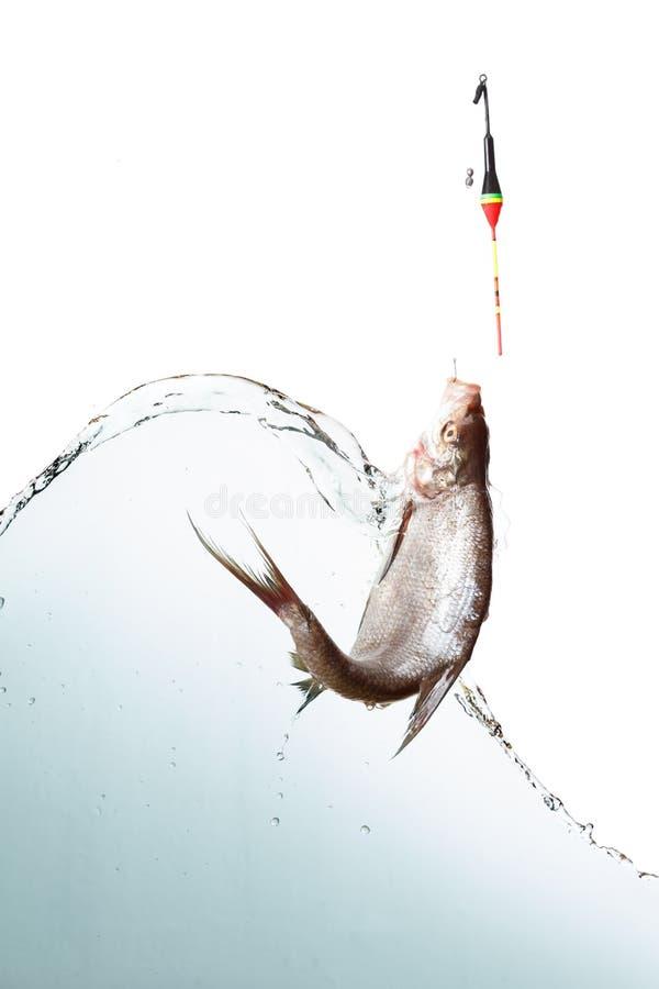 Pesca em um lago em um dia de verão ensolarado As varas de pesca do flutuador, brema isolaram o branco fotos de stock royalty free