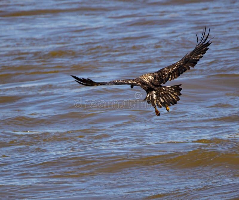 Pesca giovanile dell'aquila calva fotografia stock libera da diritti