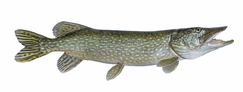 pesca Grande pesce in tensione del luccio isolato su bianco immagini stock libere da diritti