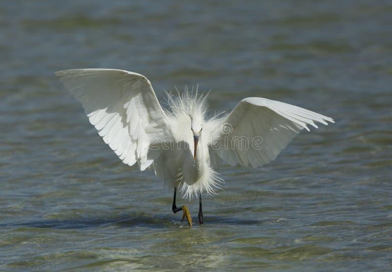 Pesca morphed bianco occidentale dell'airone della scogliera fotografie stock libere da diritti