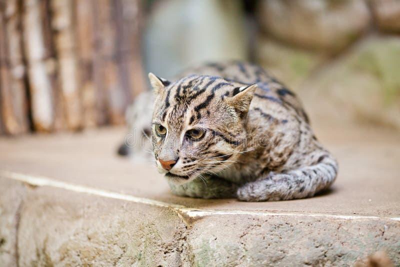 Pesca selvagem do gato no jardim zoológico fotos de stock royalty free