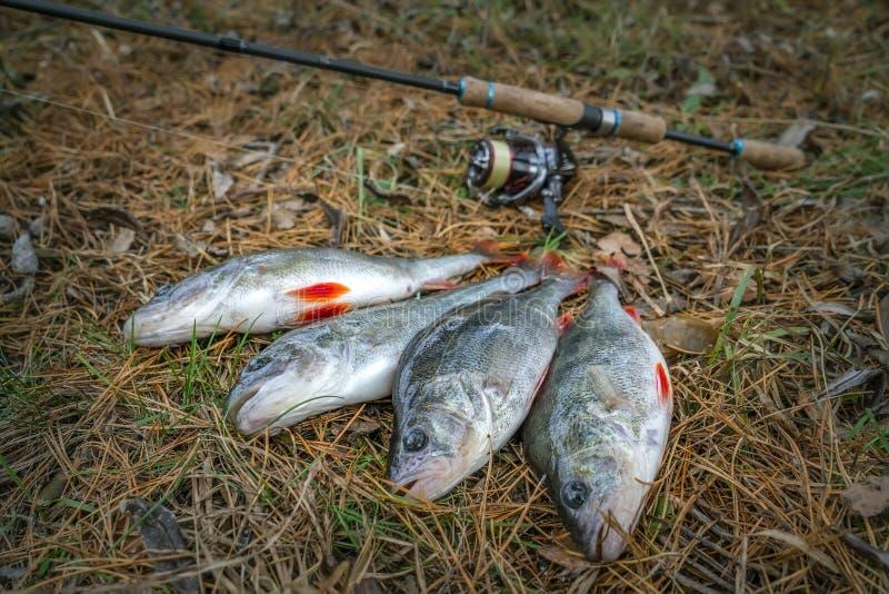 pesca Troféus dos peixes da vara e para abordar na terra imagens de stock