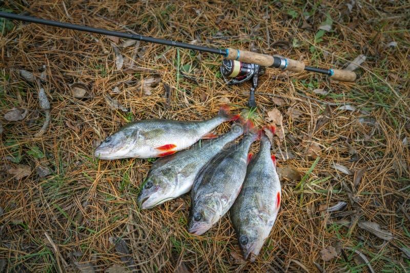 pesca Troféus dos peixes da vara e para abordar na terra fotos de stock royalty free