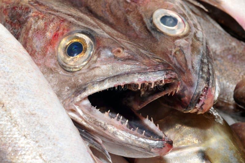Pescadas frescas no close-up foto de stock royalty free