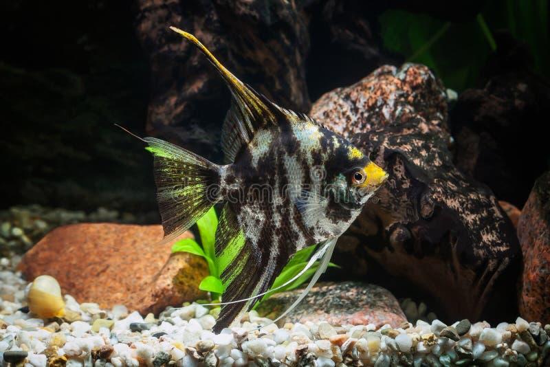Pescado Angelote en acuario con las plantas verdes, y piedras imagen de archivo