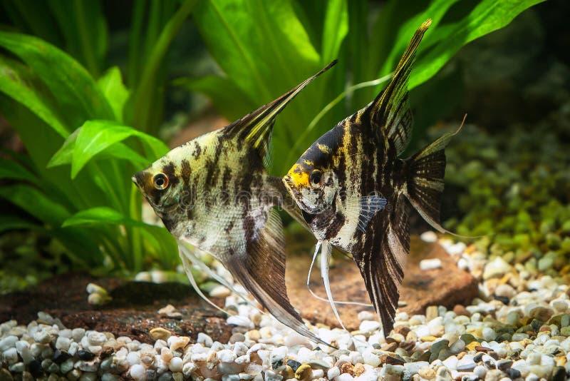Pescado Angelote en acuario con las plantas verdes, y piedras fotos de archivo libres de regalías