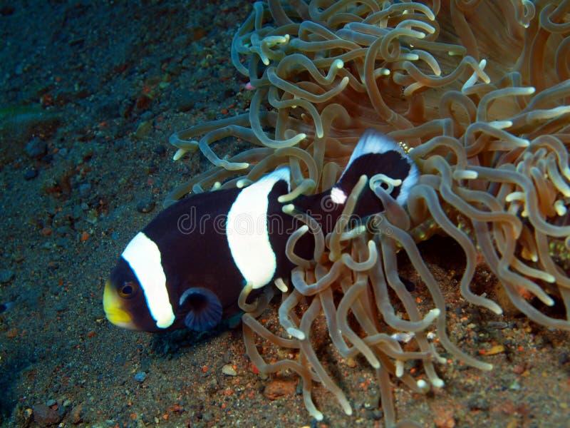 Pescado-payaso imagen de archivo