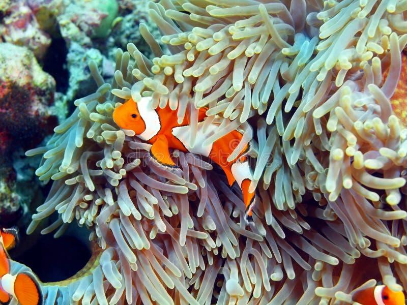 Pescado-payaso, isla Bali fotos de archivo