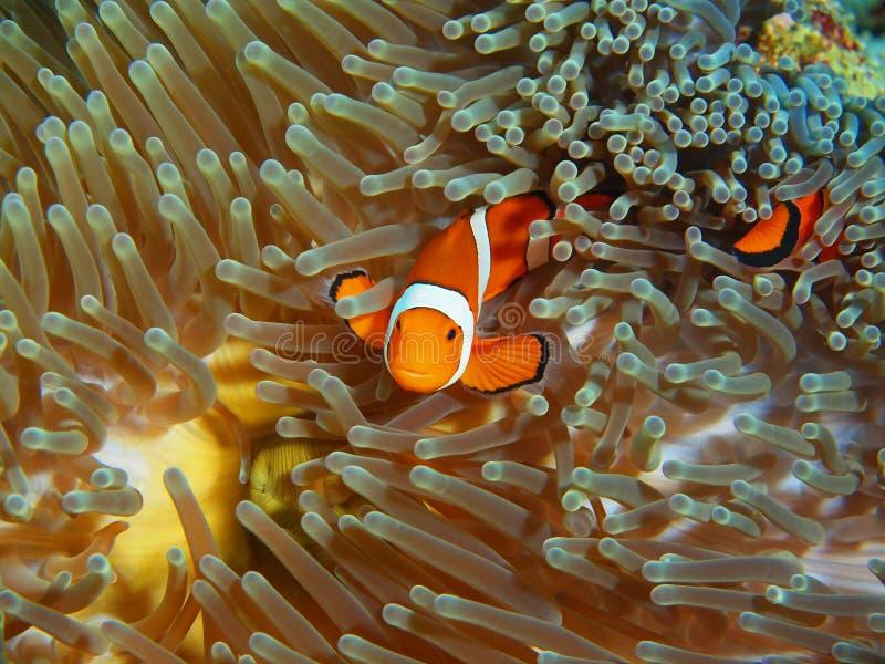 Pescado-payaso, isla Bali imagenes de archivo