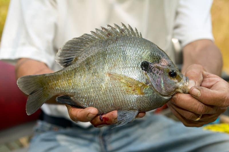 Pescador que exhibe un Lepomis macrochirus en sus manos fotografía de archivo libre de regalías