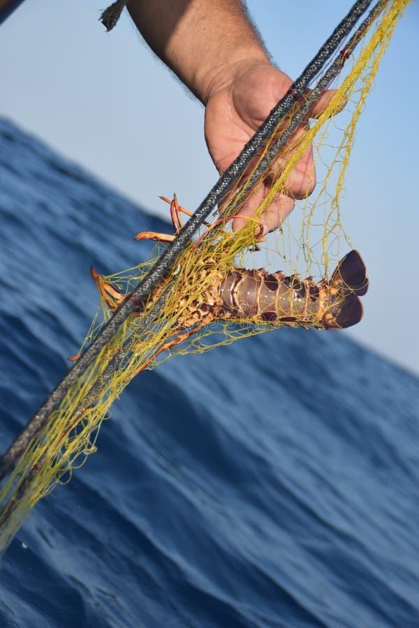 Pescador que guarda a lagosta espinhoso, elephas do Palinurus, delicioso imagem de stock royalty free