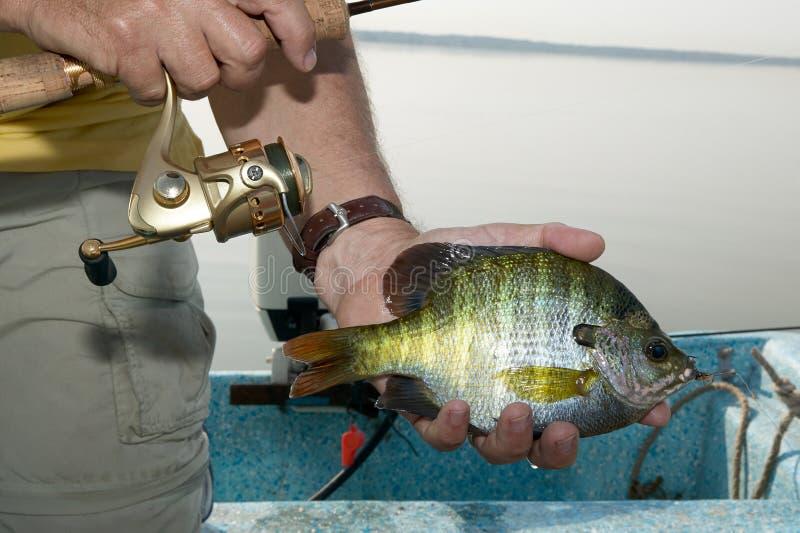 Pescador que guarda um bluegill enganchado em sua mão fotos de stock