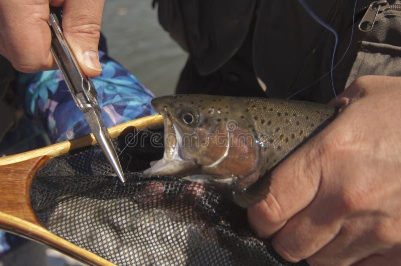 Pescador retira gancho da boca da truta fotos de stock royalty free