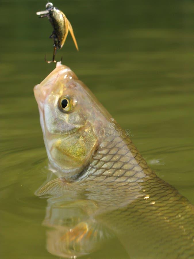 Pescados imagen de archivo libre de regalías