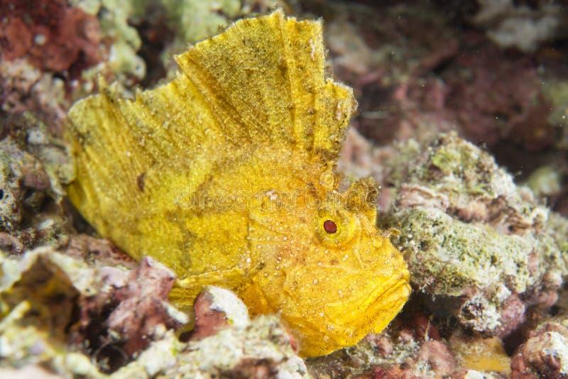Pescados amarillos de la hoja en Cebú imagen de archivo libre de regalías