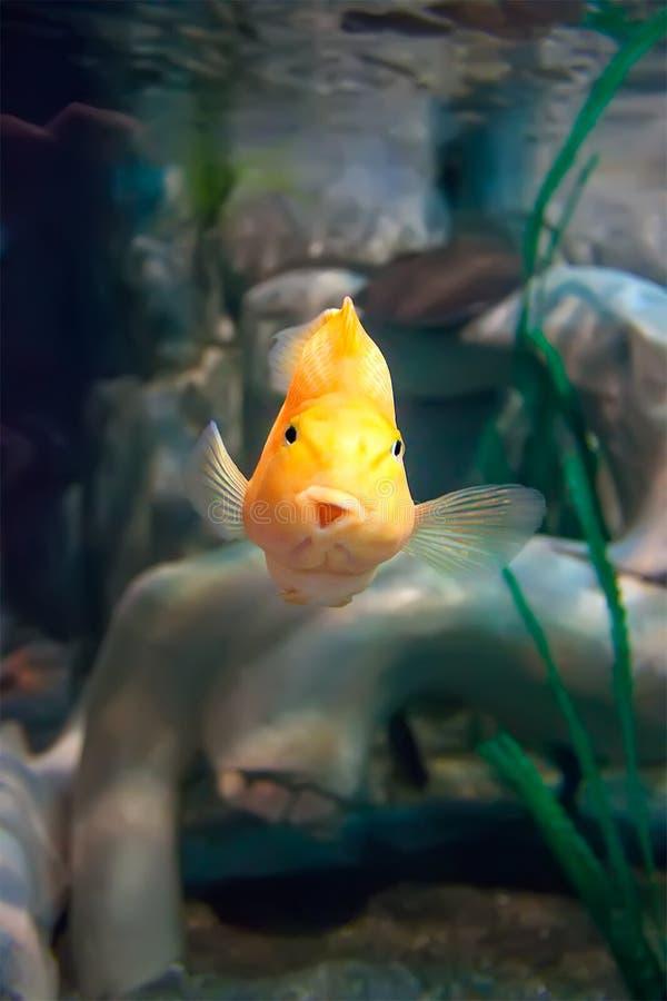 Pescados amarillos divertidos fotos de archivo