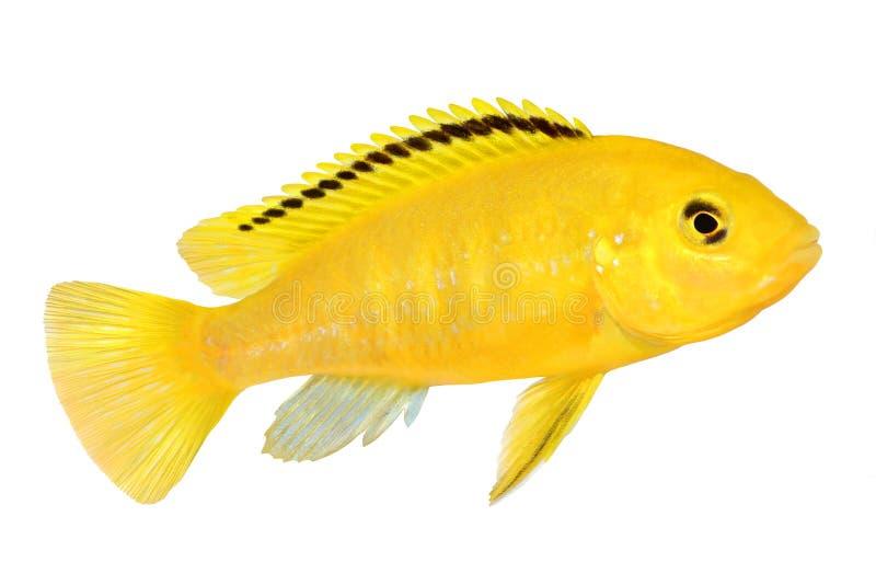 Pescados amarillos eléctricos del acuario de Malawi del caeruleus de Labidochromis del cichlid foto de archivo libre de regalías