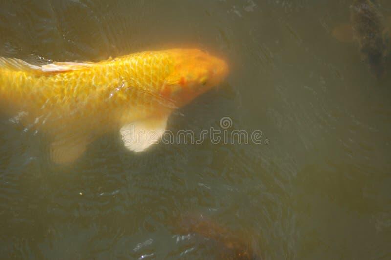 Pescados amarillos grandes en una charca con la espina dorsal y la cola blancas fotografía de archivo