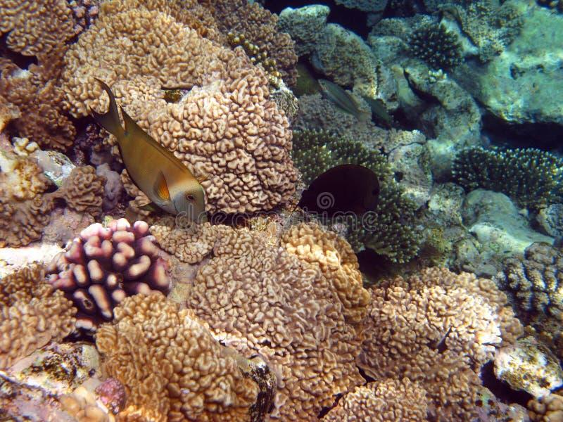 Pescados amarillos y filón coralino foto de archivo