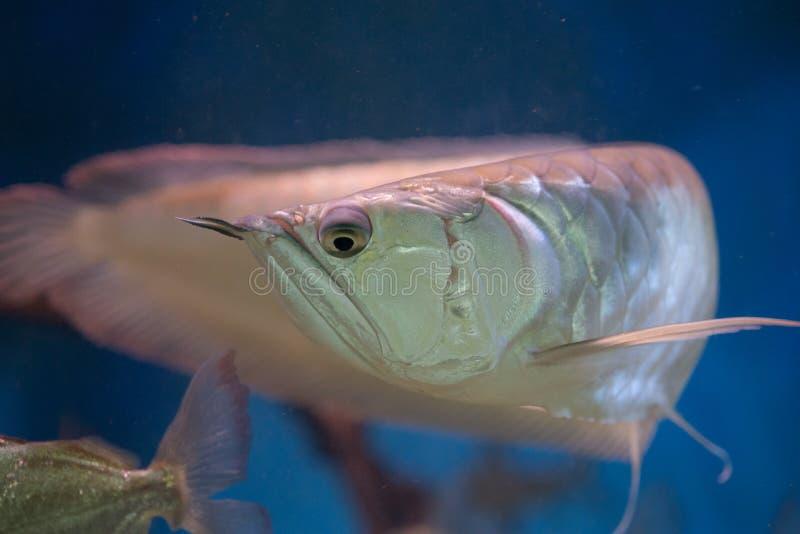 Pescados amazónicos del arowana de plata en el tanque del acuario foto de archivo libre de regalías