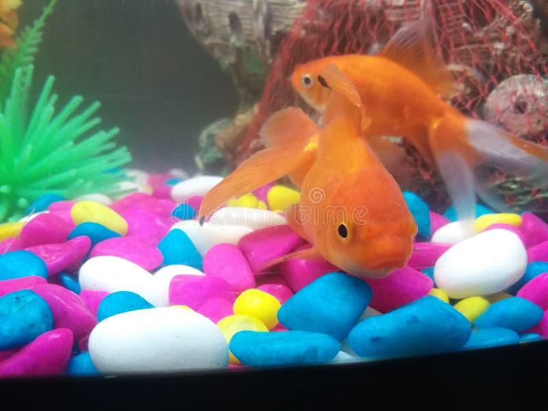 Pescados anaranjados hermosos con los guijarros coloridos imagenes de archivo