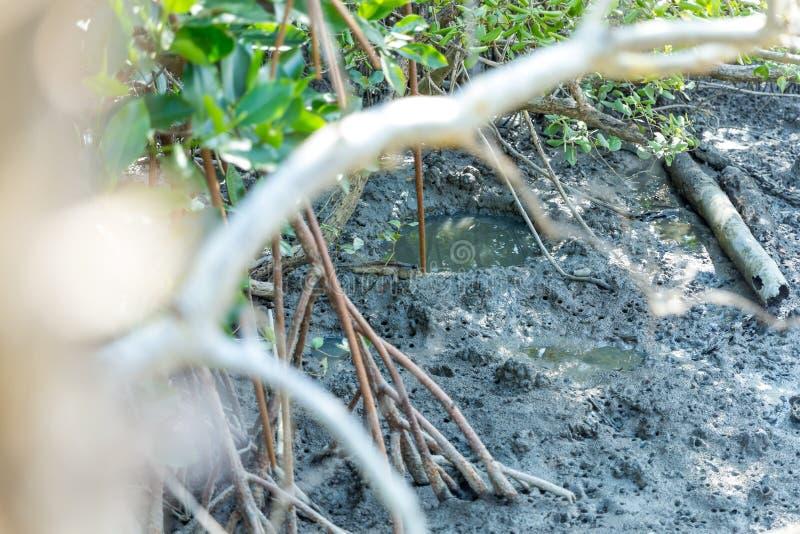 Pescados anfibios del lungfish de Mudskipper en bosque del mangle imagen de archivo libre de regalías