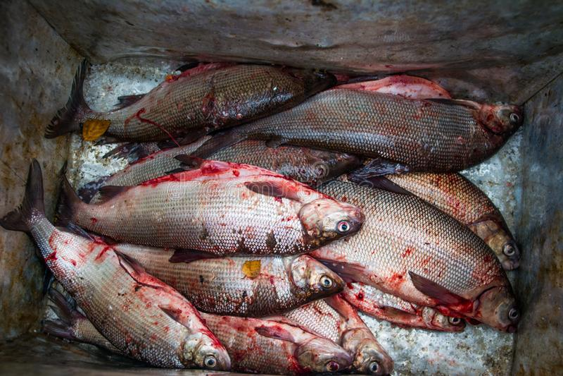 Pescados blancos peled Coregonus que salan en la naturaleza salvaje Yamal fotografía de archivo libre de regalías