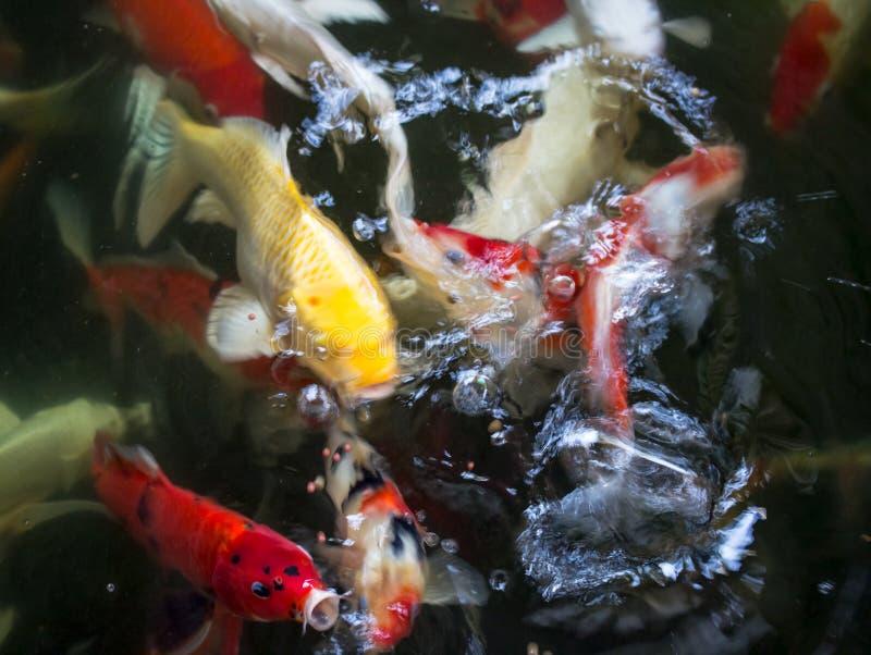 Pescados chinos coloridos del koi o de la carpa debajo del agua imagen de archivo