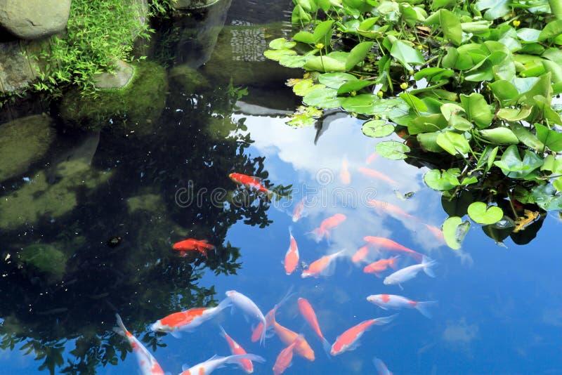 Pescados chinos hermosos del koi o de la carpa en agua imagen de archivo libre de regalías