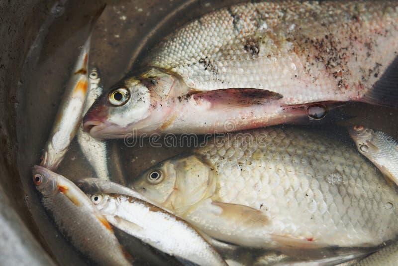 Pescados cogidos en el lavabo imagenes de archivo
