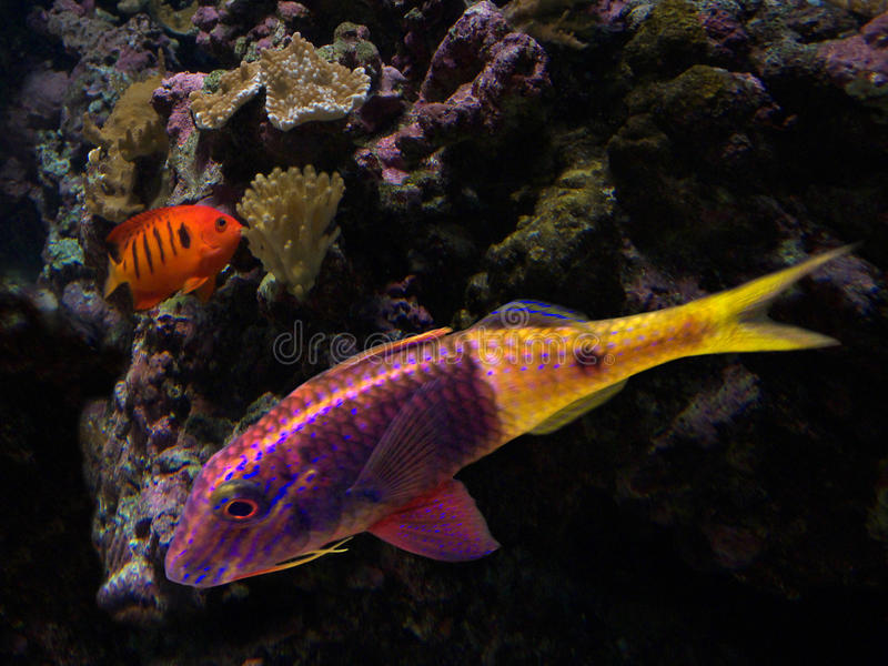 Pescados coloridos fotografía de archivo