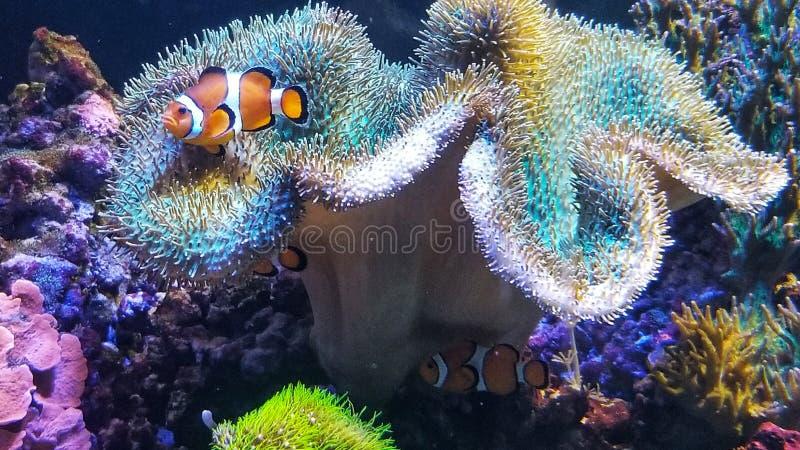 Pescados coloridos del payaso de la vida marina foto de archivo
