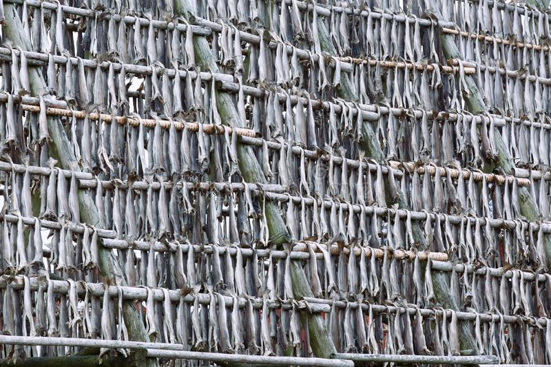 Pescados comunes colgantes del bacalao en los estantes para secarse en el sol y el viento de las islas de Lofoten, Noruega, Europ fotos de archivo libres de regalías