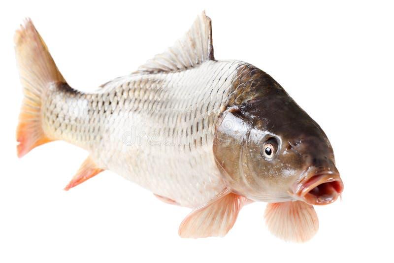 Pescados comunes de la carpa en el fondo blanco imagenes de archivo