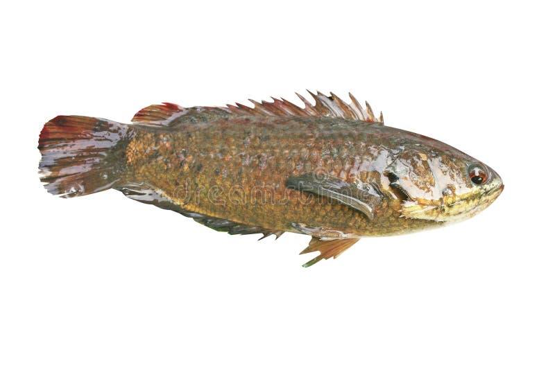 Pescados con fango, pescados de agua dulce de la perca que suben aislados en el fondo blanco imagenes de archivo