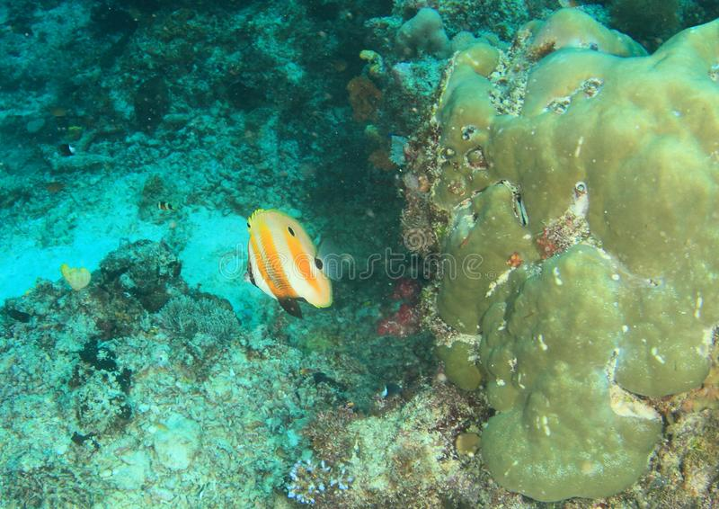 Pescados - coralfish Anaranjado-congregados fotos de archivo libres de regalías