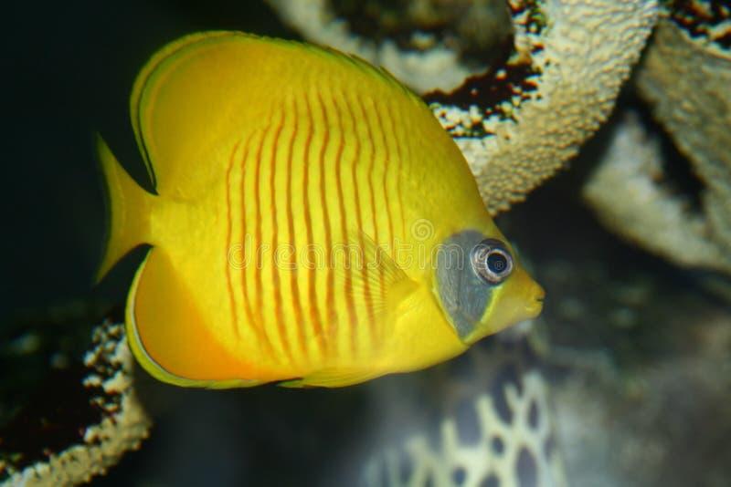 Pescados coralinos imagen de archivo