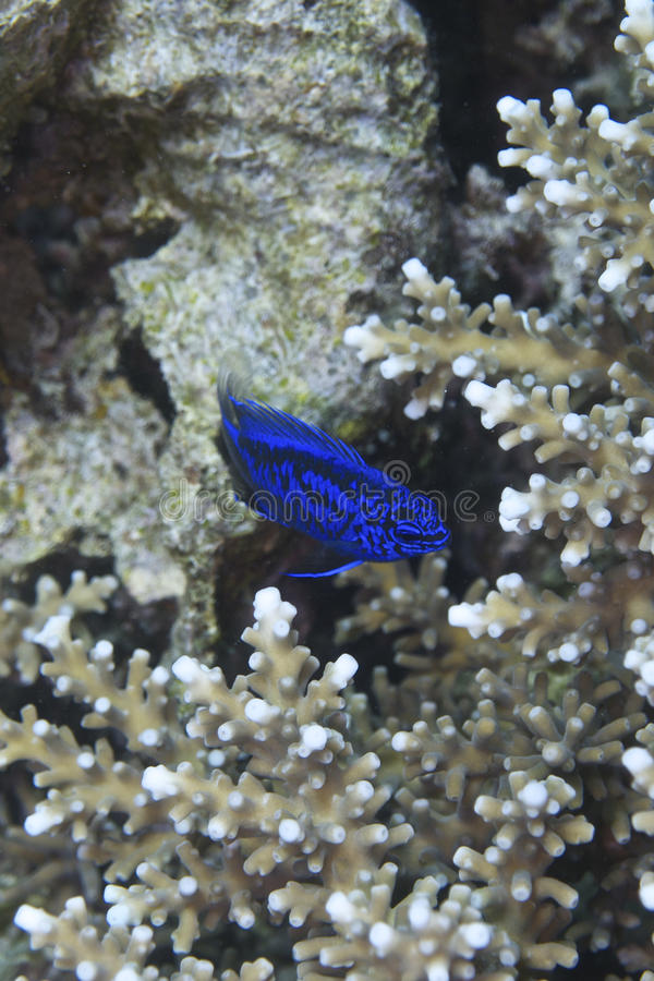 Pescados coralinos de la isla de Balicasan, Filipinas imagen de archivo libre de regalías