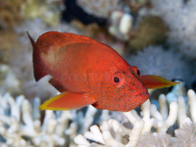 Pescados coralinos Halfspotted trasero fotos de archivo libres de regalías