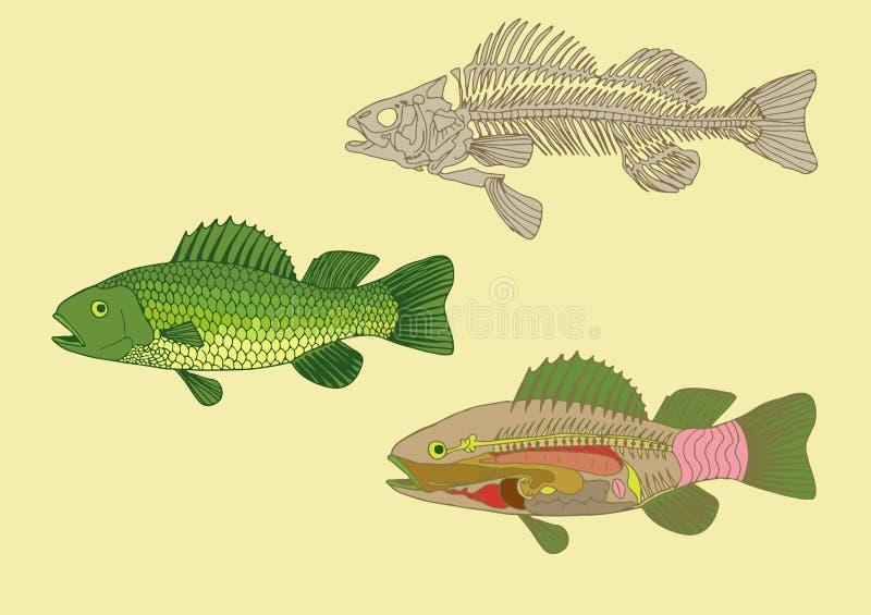 pescados, corte transversal y esqueleto libre illustration