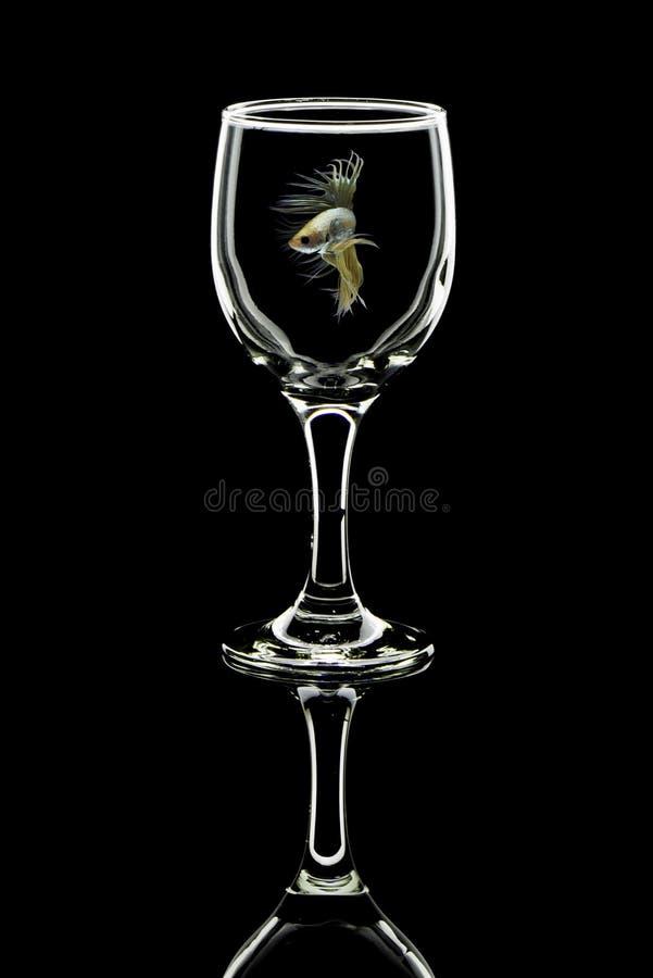 Pescados cristalinos blancos del betta de la cola de la corona, pescados que luchan en globo del vino imagenes de archivo