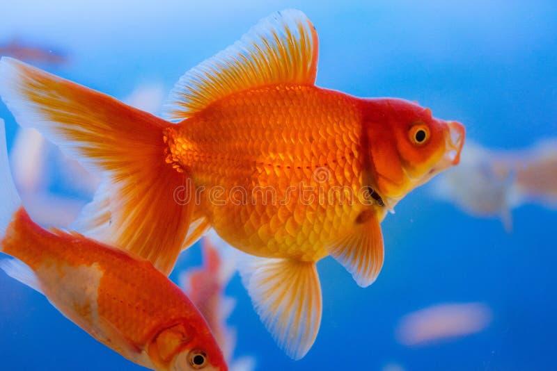 Pescados de agua dulce del acuario, pez de colores de Asia en el acuario, auratus del carassius imagenes de archivo